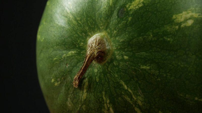 la queue de la pastèque indique si le fruit est mûr