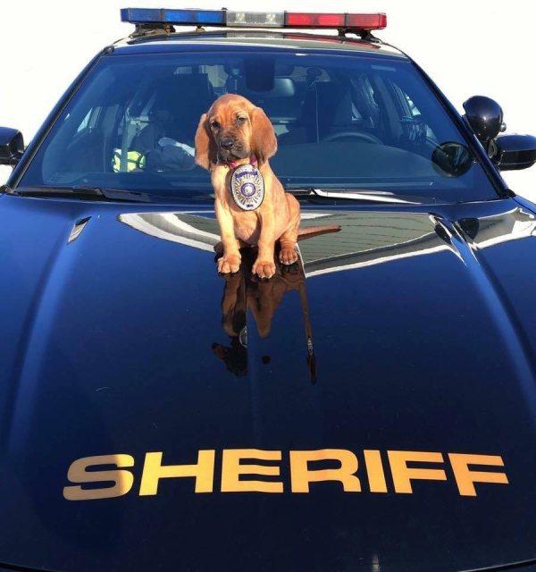 Chiot policier assis sur le capot d'une voiture de Sheriff avec une plaque autour du coup