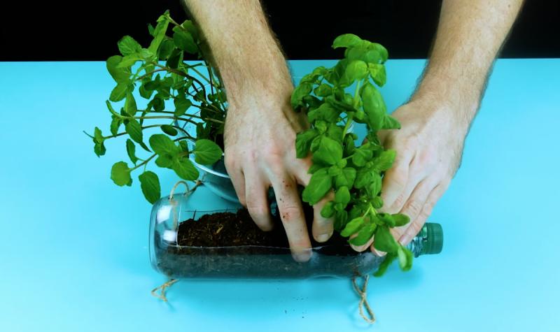 Planter les herbes aromatiques dans les bouteilles en plastique