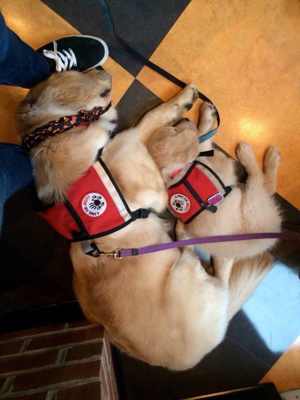 Un chiot et un chien adulte en train de se reposer après une journée de travail et entraînement pour devenir chien d'assistance