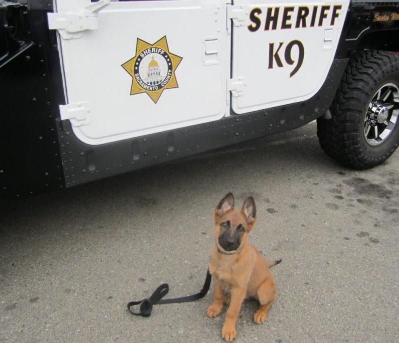 Chiot policier berger allemand assis sur le béton, devant une voiture de Sheriff du Comté de Sacramento