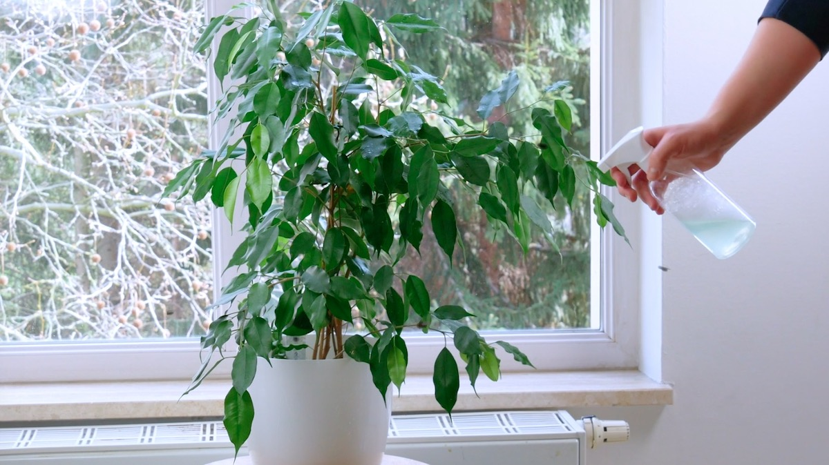 spray the plants with dish soap to repel midges