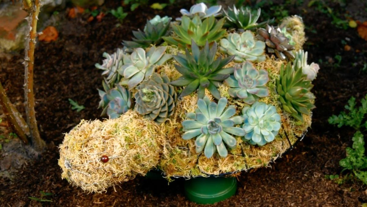 Succulentes en forme de tortue