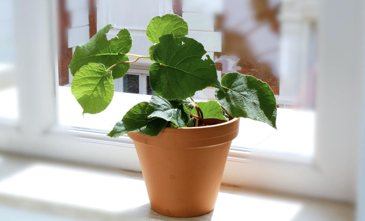 plant de kiwi