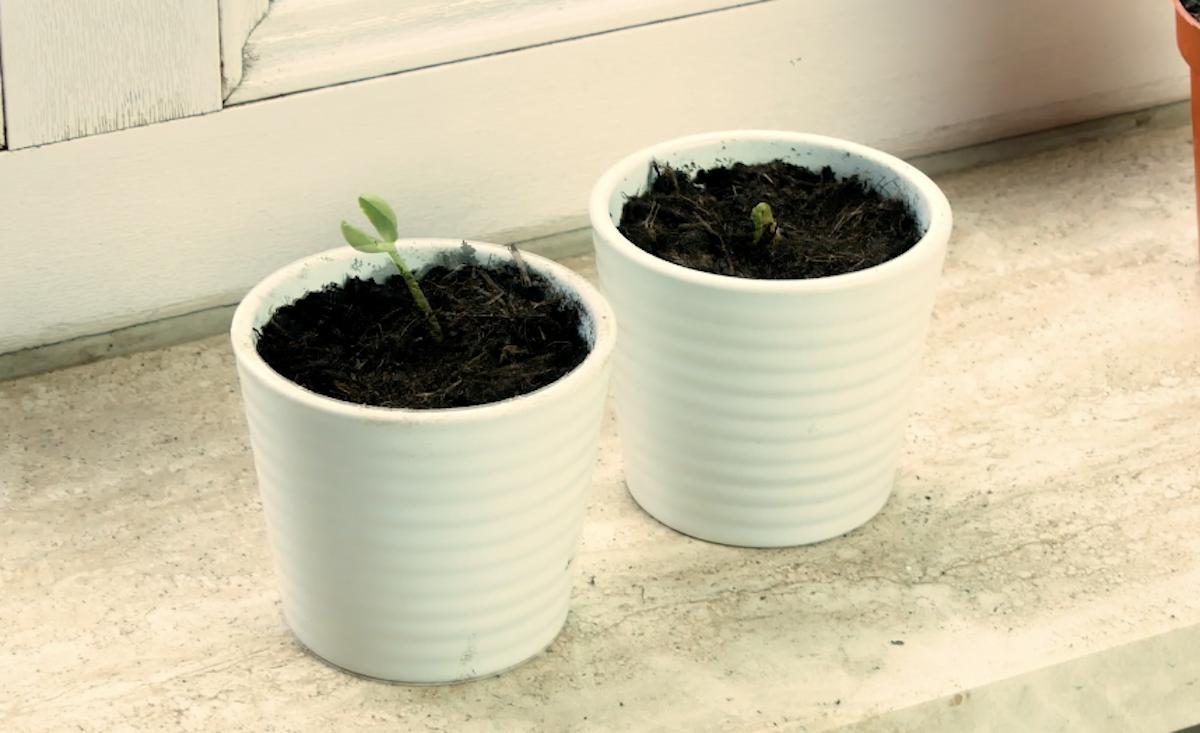 plants de pastèque