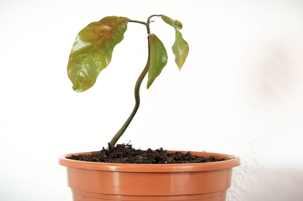 Planter un manguier